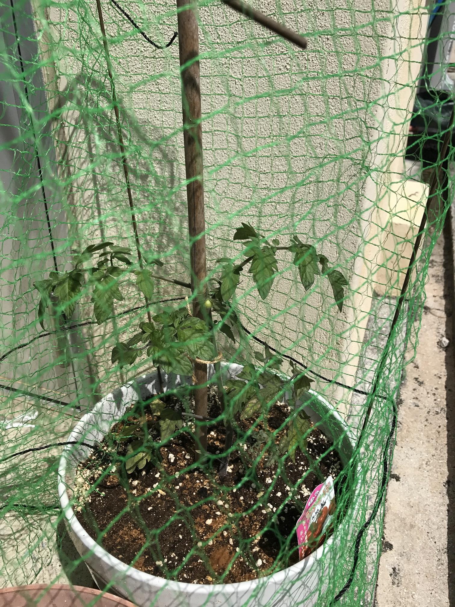 プチトマトを植えました。